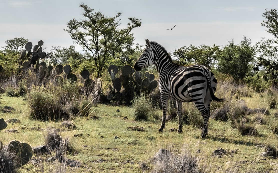 La Zebra of San MIguel de Allende